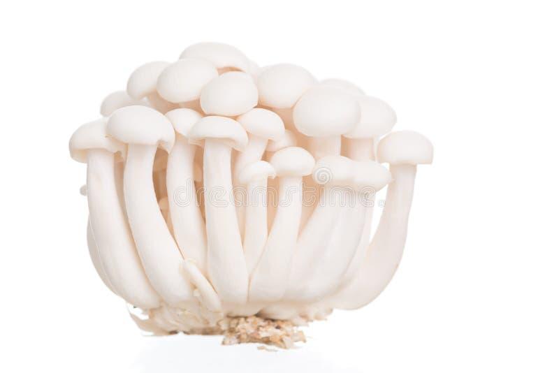 Funghi del faggio bianco o fungo di Shimeji su fondo bianco fotografia stock libera da diritti