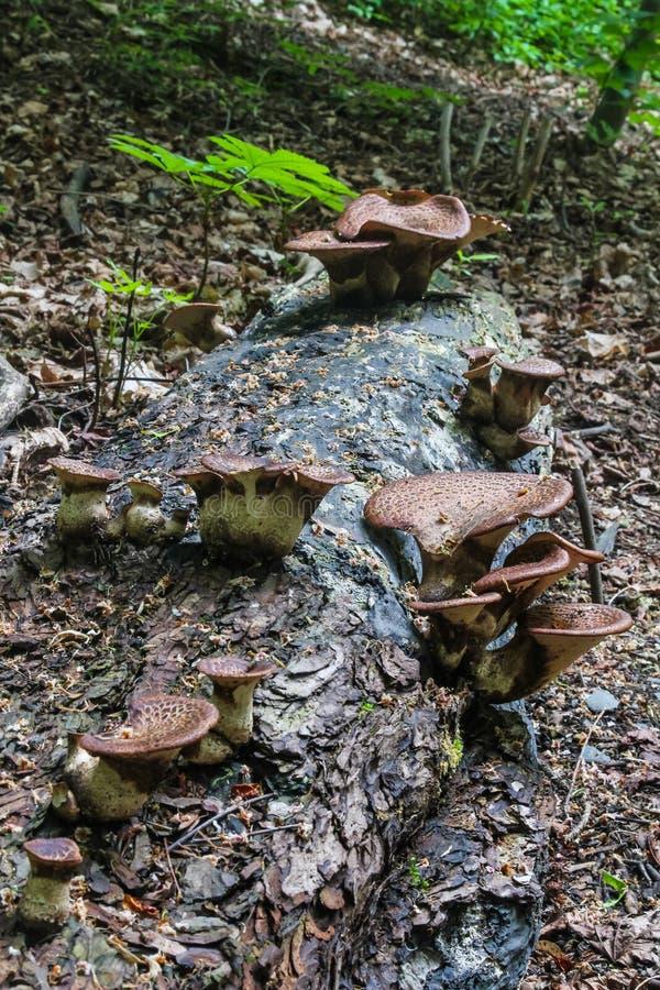 Funghi del parassita su un tronco di albero nel parco a Praga, repubblica Ceca immagine stock libera da diritti