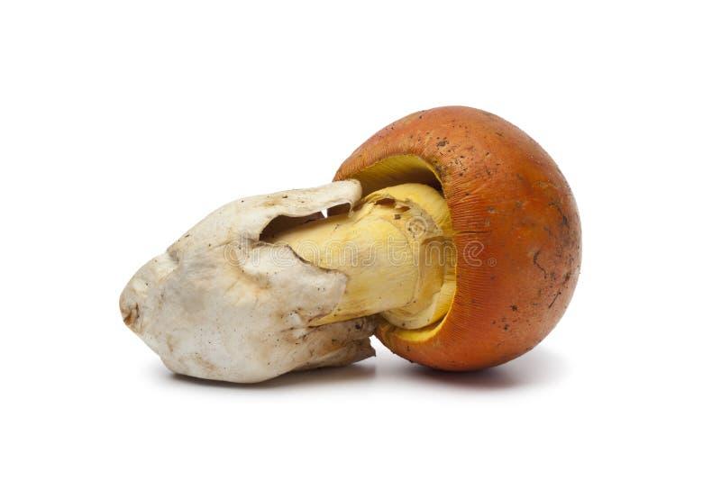 Funghi del singolo Caesar fotografia stock libera da diritti