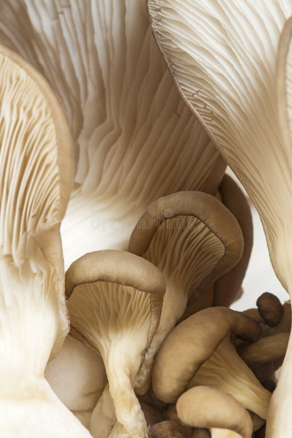 Funghi di ostrica immagine stock