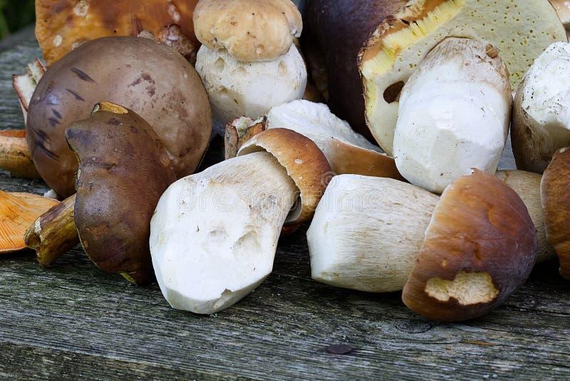 Funghi di raccolto della foresta immagine stock