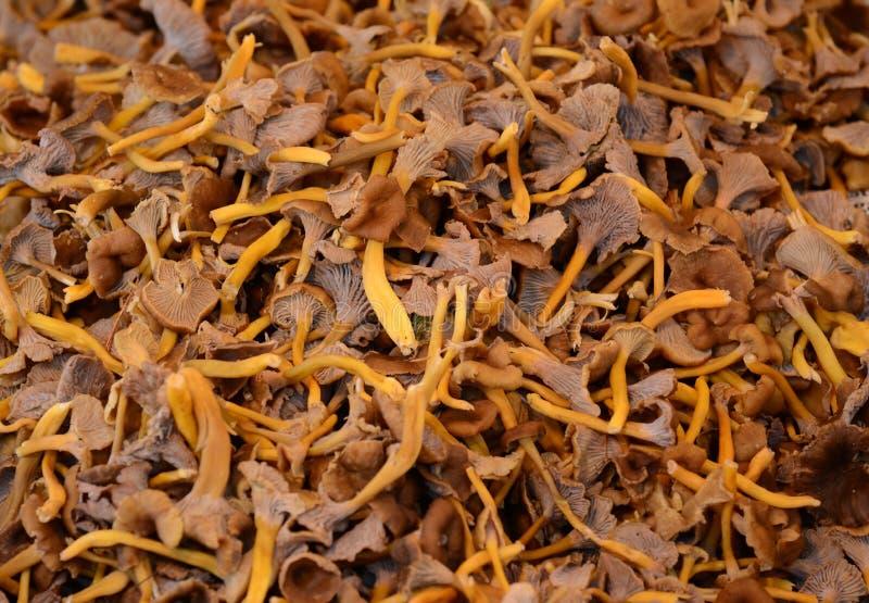 funghi freschi del galletto fotografia stock