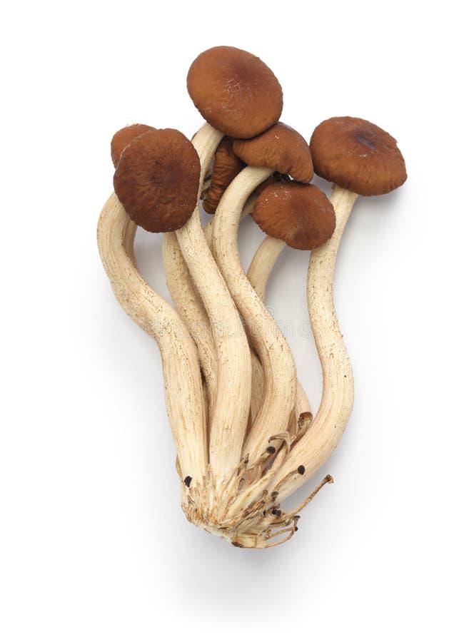 Funghi freschi dell'albero del tè del salice fotografia stock