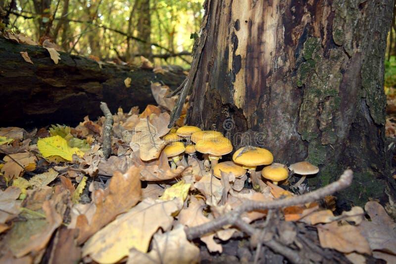 Funghi gialli immagine stock