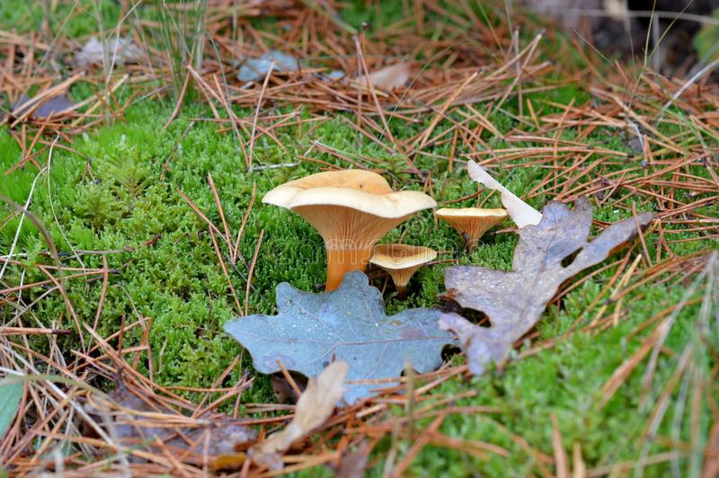 Funghi nei Paesi Bassi fotografia stock libera da diritti