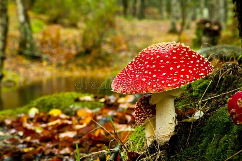 Funghi nel legno fotografia stock