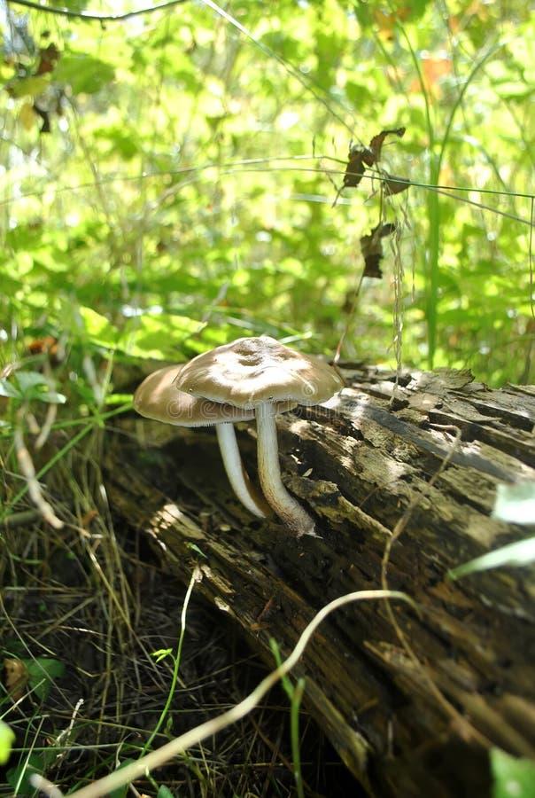 Funghi nella foresta fotografie stock libere da diritti