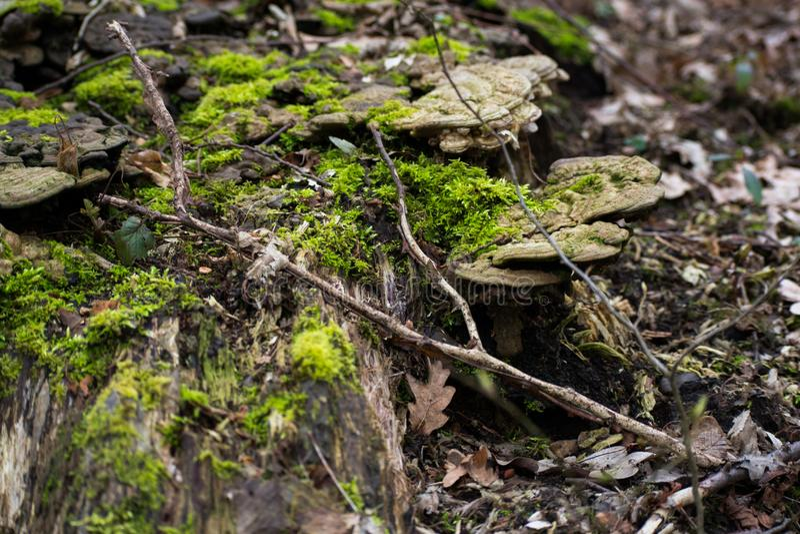 Funghi pieczarki Na Mechatym Drzewnym bela lesie zdjęcia stock