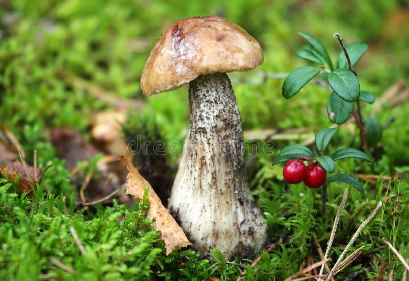 Funghi selvaggi fotografia stock libera da diritti