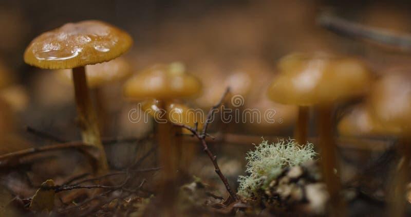 Funghi selvaggi, foresta pluviale subtropicale, Tasmania fotografia stock libera da diritti
