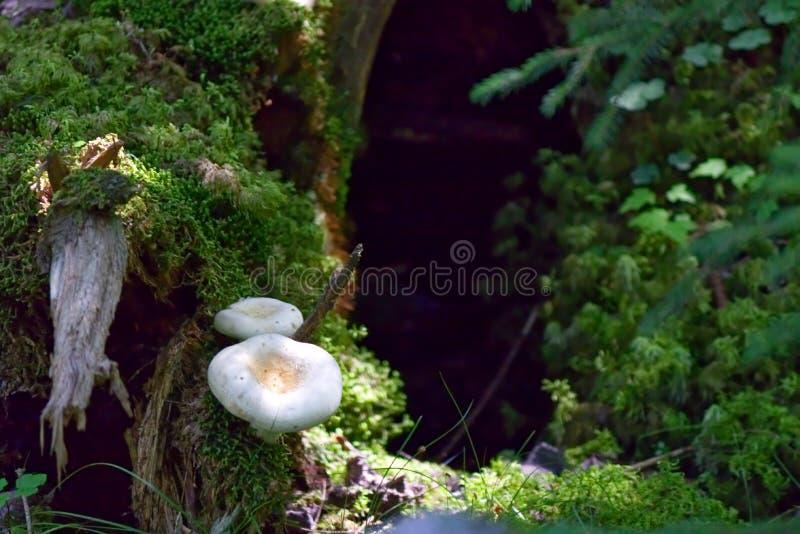 Funghi selvaggi nella foresta fotografie stock