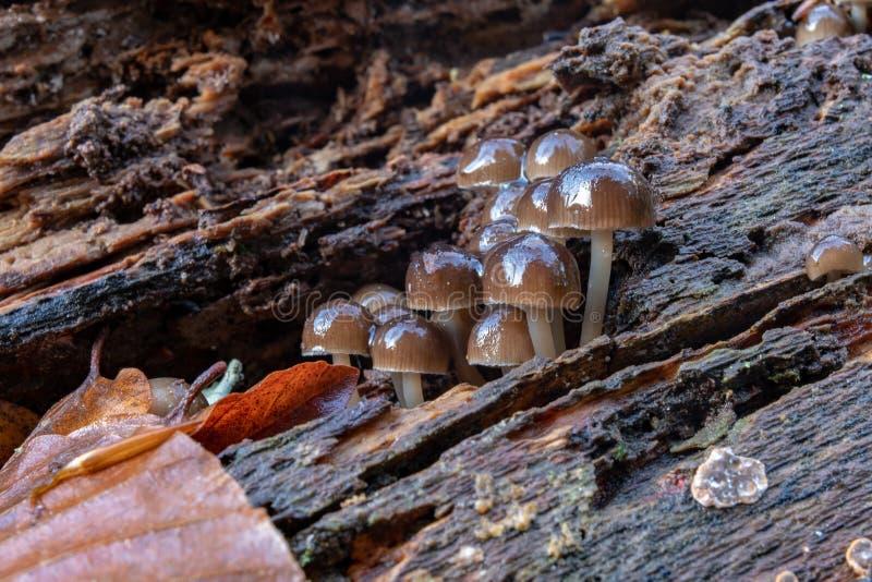 Funghi tossici che crescono nel muschio su un tronco di albero Piccoli funghi con le branchie sui precedenti di muschio nella for fotografia stock libera da diritti
