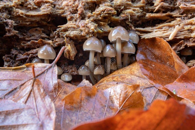 Funghi tossici che crescono nel muschio su un tronco di albero Piccoli funghi con le branchie sui precedenti di muschio nella for immagine stock libera da diritti