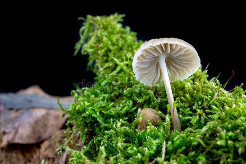 Funghi tossici che crescono nel muschio su un tronco di albero Piccoli funghi con le branchie sui precedenti di muschio nella sta fotografia stock libera da diritti