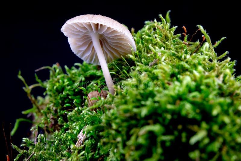 Funghi tossici che crescono nel muschio su un tronco di albero Piccoli funghi con le branchie sui precedenti di muschio nella sta fotografia stock