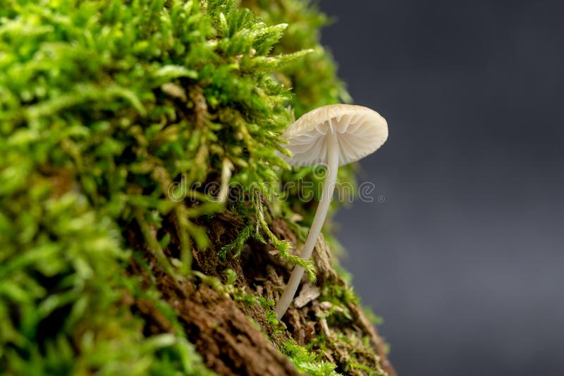 Funghi tossici che crescono nel muschio su un tronco di albero Piccoli funghi con le branchie sui precedenti di muschio nella sta fotografie stock