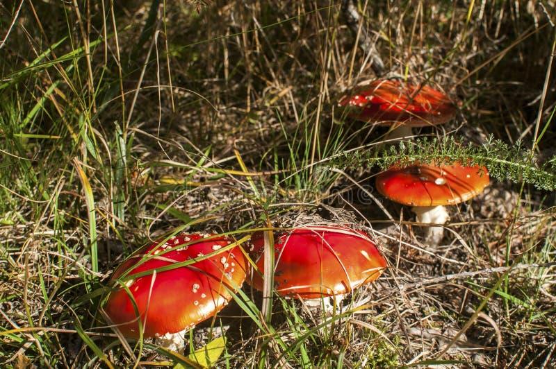 Funghi tossici rossi immagine stock
