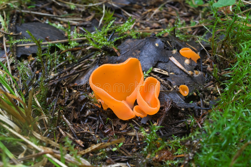 Fungi. Aleuria aurantia in forest royalty free stock photography
