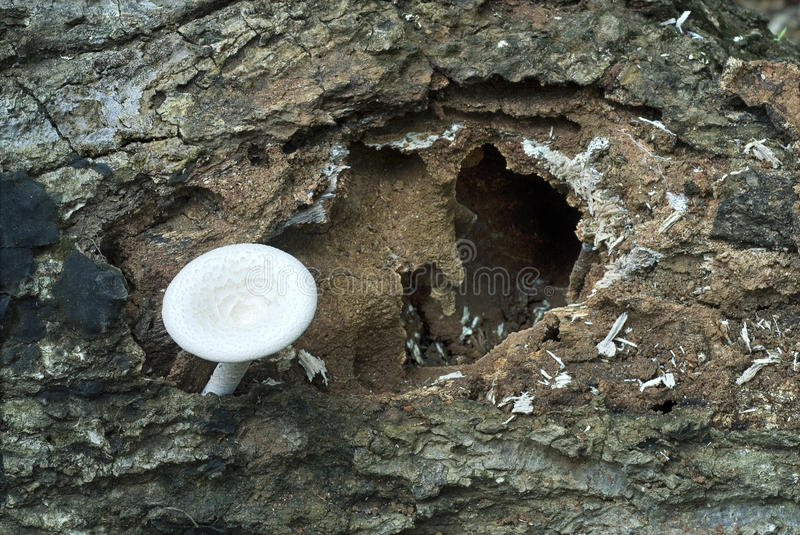 Fungi fruiting on rotting wood- Art by nature. Mushrooms- Fungi fruiting on decaying or rotting wood- Art by Nature- Lentinus tigrinus- Thiruvanathapuram, Kerala stock photography