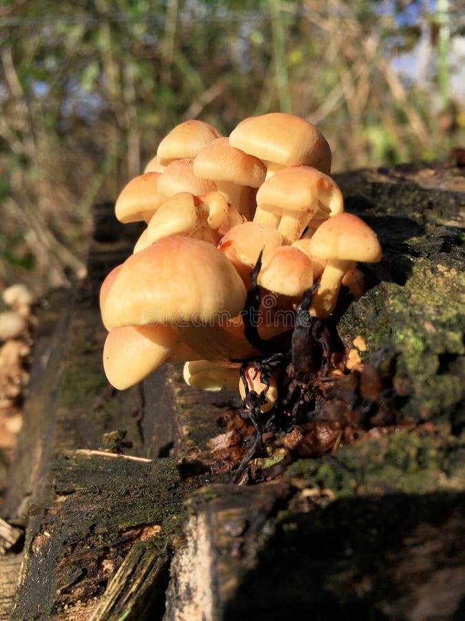 Fungi growing on a log. Hebeloma crustiliniforme. Cortinariaceae. Poisonpie. Southern England. UK stock photo
