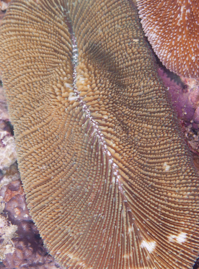 Download Fungia Coral (closeup) stock photo. Image of living, single - 14450872