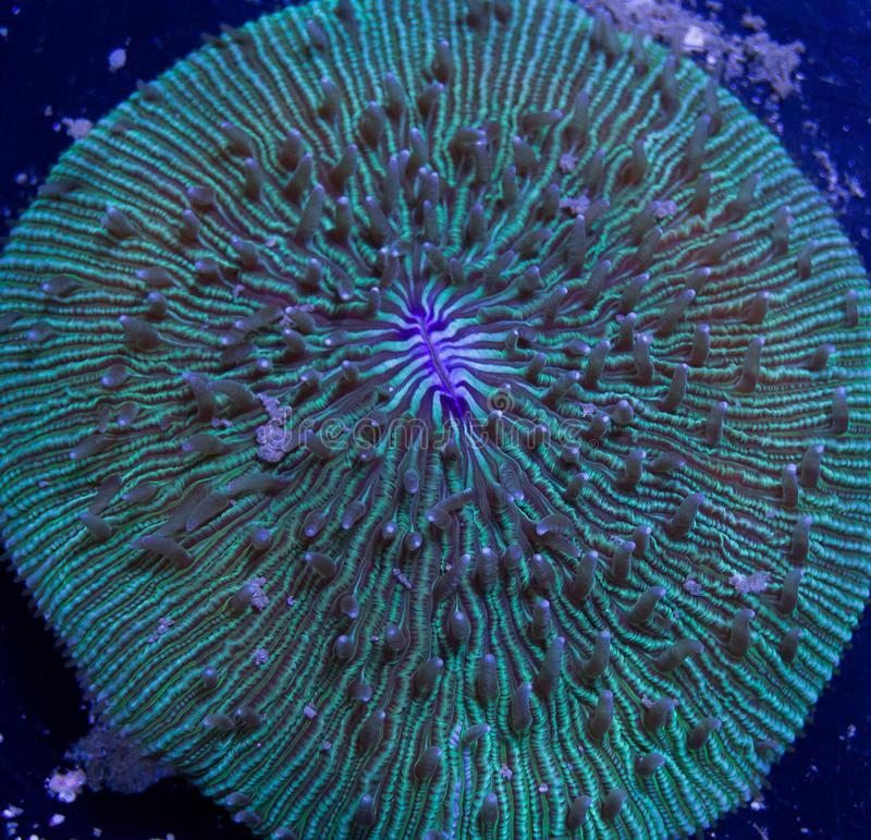 Fungia plate coral. A large round fungia coral in a marine aquarium royalty free stock photos