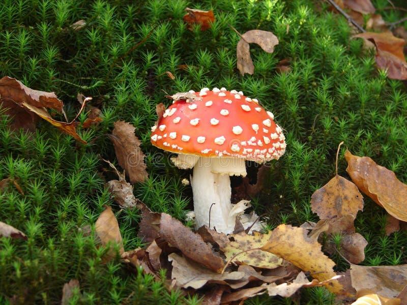 Fungo adorabile di rosso della foto fotografie stock libere da diritti