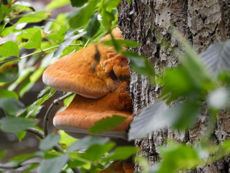Fungo alaranjado em uma árvore imagens de stock