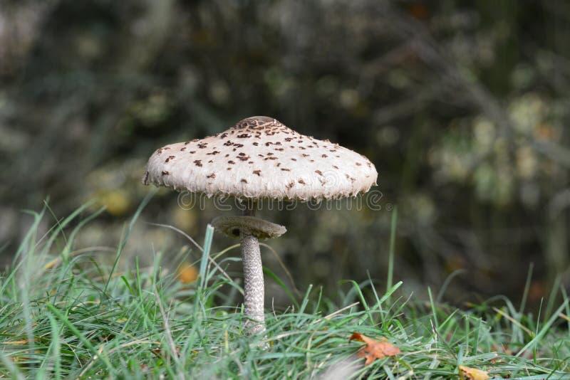 Fungo Autumn Netherlands immagini stock libere da diritti