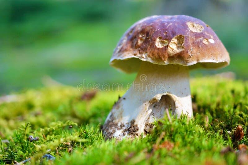 Fungo - boletus nell'erba fotografia stock