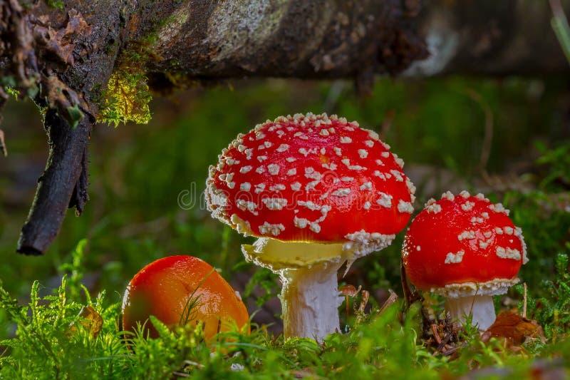 Fungo, cogumelo, Agaric, vegetação