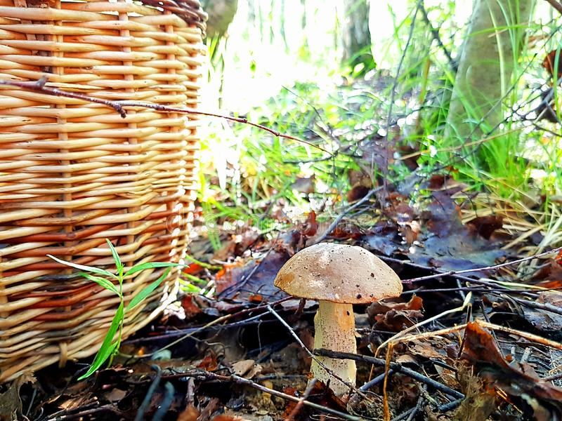 Fungo commestibile coltivato nella foresta fotografia stock