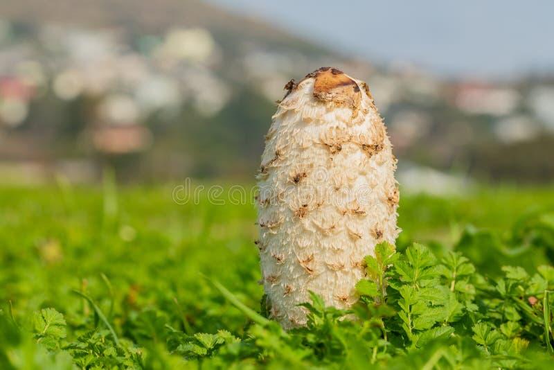 Fungo commestibile di Shaggy Mane Wild che cresce in un prato del paese fotografie stock