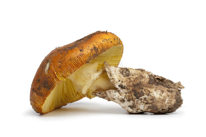 Fungo commestibile fresco dell'amanita immagini stock libere da diritti