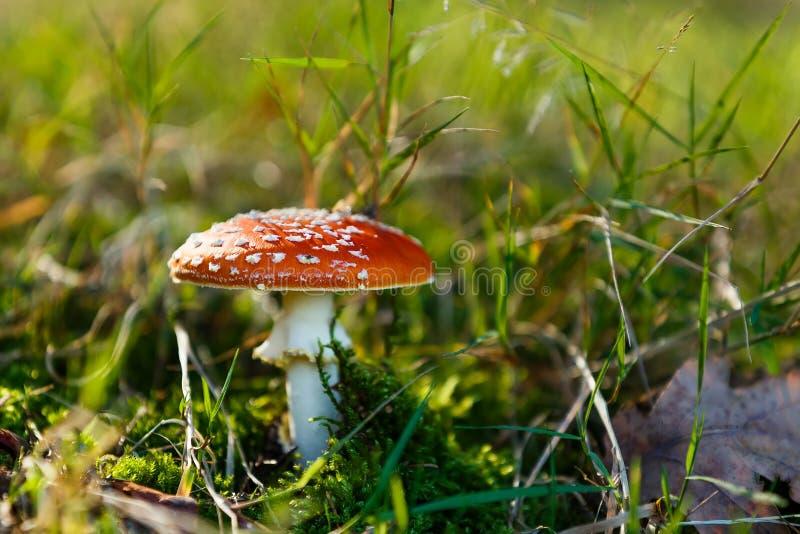 Fungo conosciuto comunemente come l'agarico di mosca o l'amanita di mosca fotografia stock