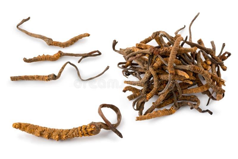 Fungo da lagarta (sinensis de Ophiocordyceps) imagem de stock royalty free