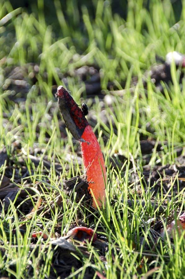 Fungo de Stinkhorn foto de stock