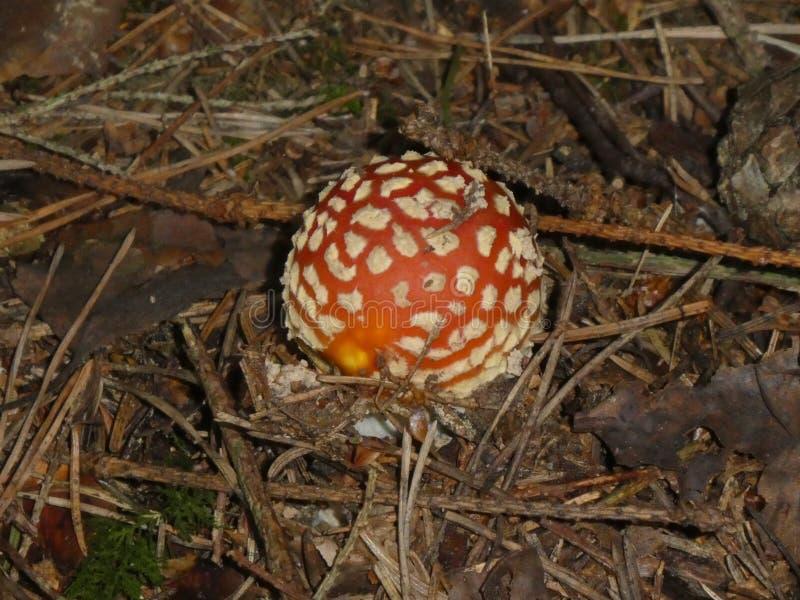 Fungo dell'agarico di mosca nei punti bianchi rossi della foresta fotografia stock libera da diritti