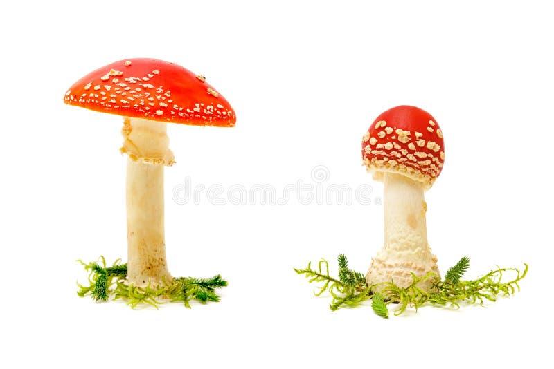 Fungo dell'agarico di mosca o dell'amanita di mosca su un fondo bianco immagine stock