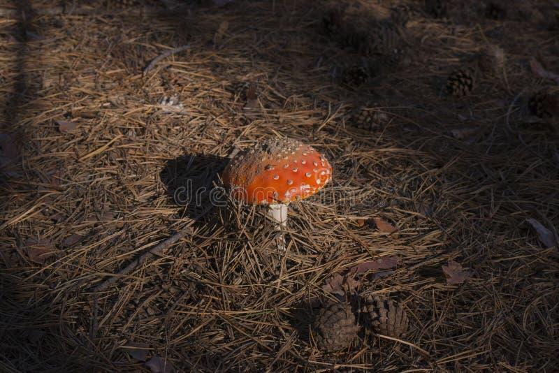 Fungo dell'amanita sugli aghi del pino fotografie stock libere da diritti