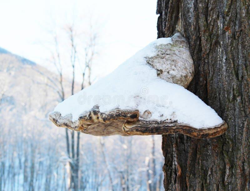Fungo dell'esca con neve immagini stock