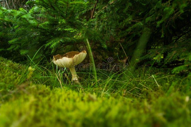 Fungo di caduta nella foresta su erba fotografie stock libere da diritti