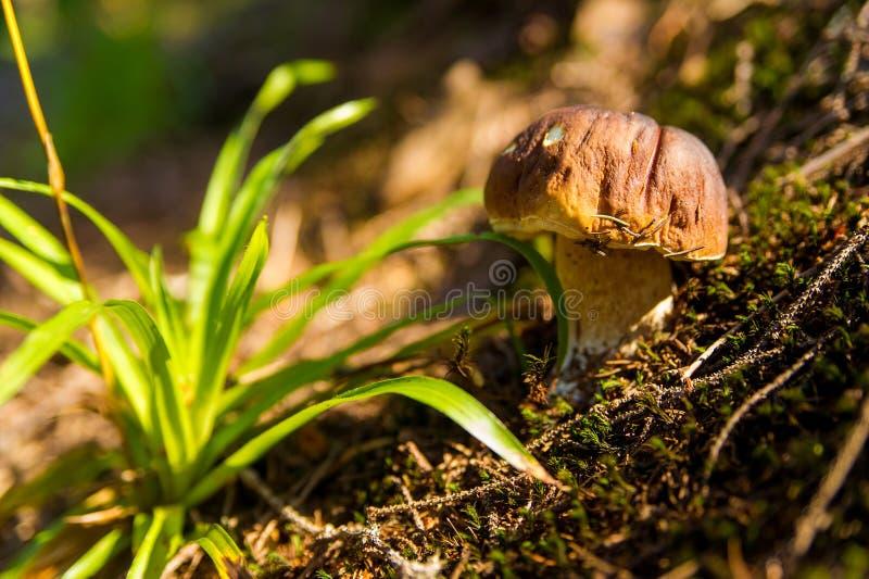 Fungo di caduta nella foresta su erba immagini stock libere da diritti