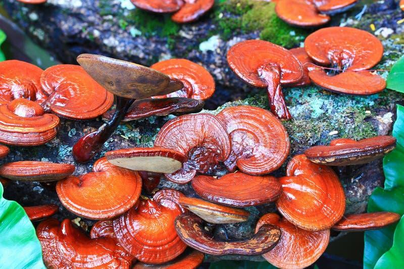 Fungo di ganoderma lucidum fotografia stock libera da diritti