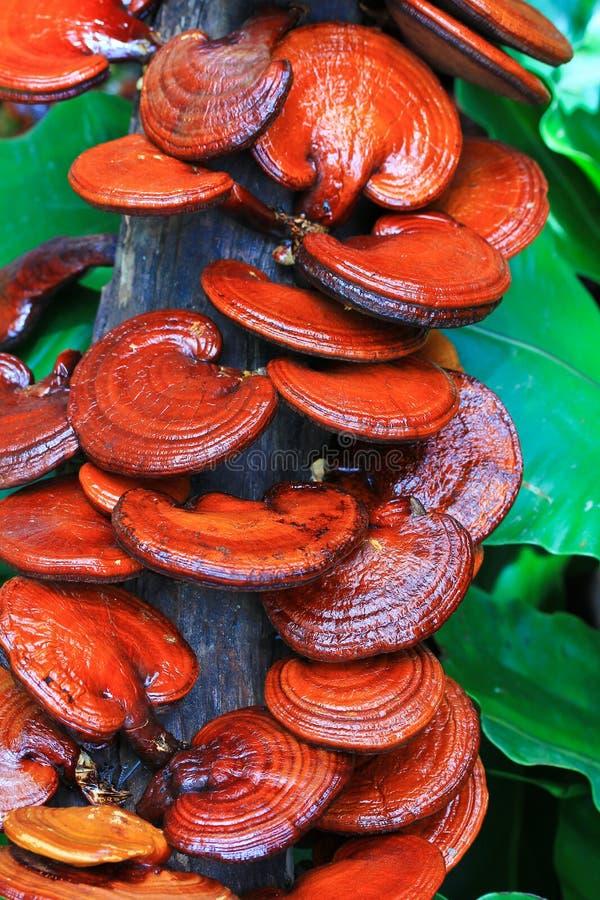 Fungo di ganoderma lucidum fotografie stock libere da diritti