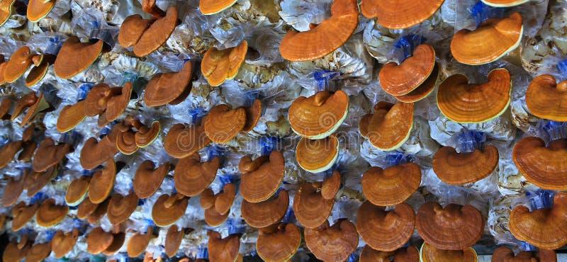 Fungo di ganoderma lucidum fotografia stock