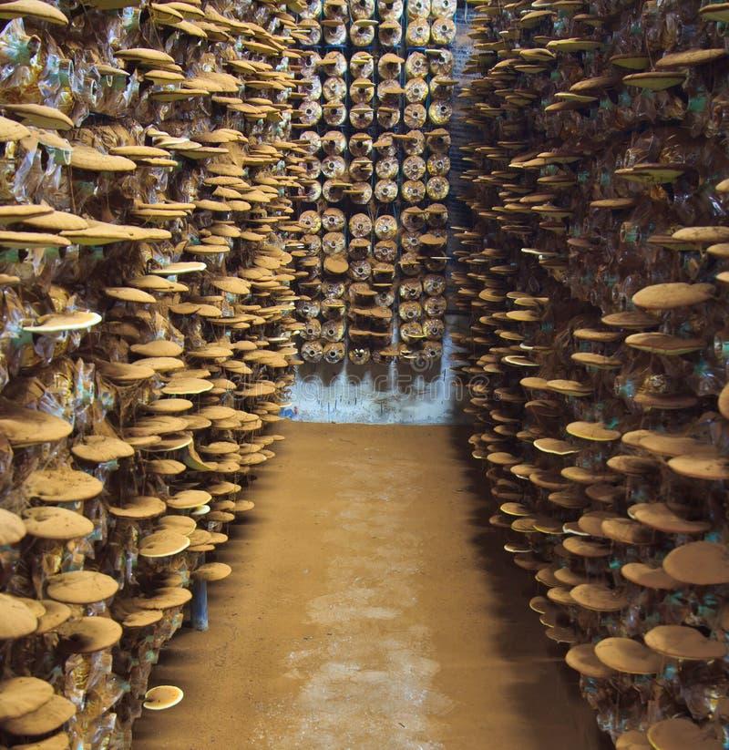 Fungo di ganoderma lucidum immagine stock libera da diritti