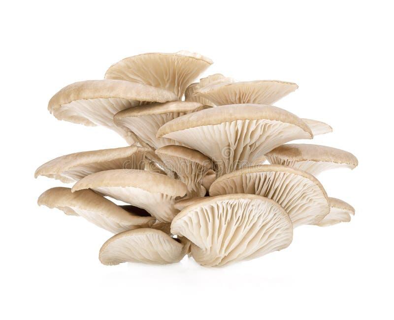 Fungo di ostrica isolato su fondo bianco fotografie stock
