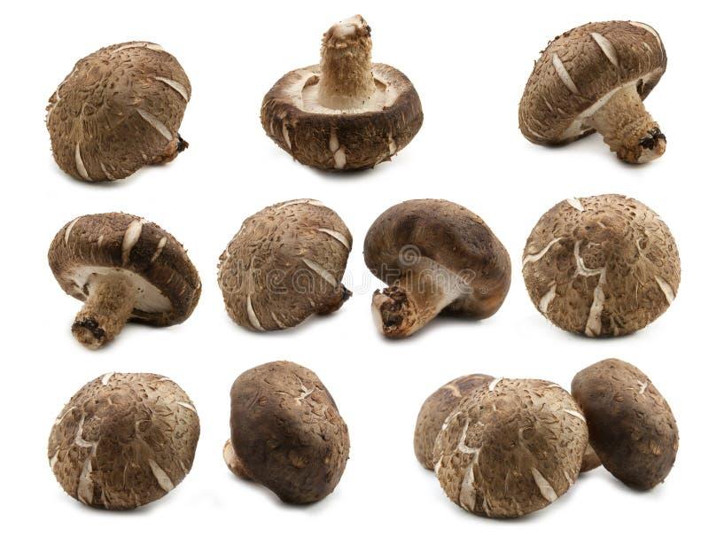 Fungo di shiitake fresco della raccolta immagine stock