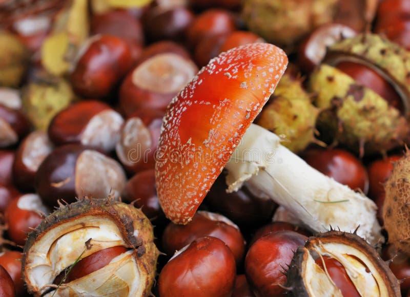 Fungo e castagne rossi immagini stock libere da diritti